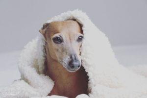 Schicke Hundedecke aus weichem Teddyflausch hängt über dem Kopf des Hundes