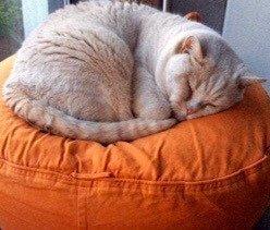 Grosse Katze auf ovalem Katzenkissen orange Canvas Baumwolle