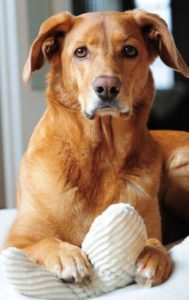 Hund hat Pfote auf seinem Spielzeugknochen aus Baumwoll Breitcord in cremeweiß